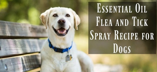 Homemade Flea Spray For Dogs 5