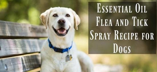 Homemade Flea Spray For Dogs 5