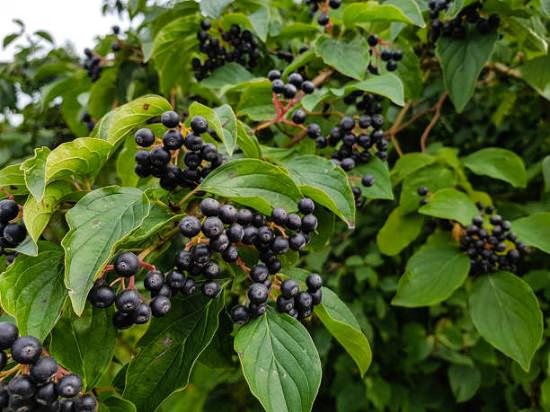 Chokeberry Tea Health Benefits1