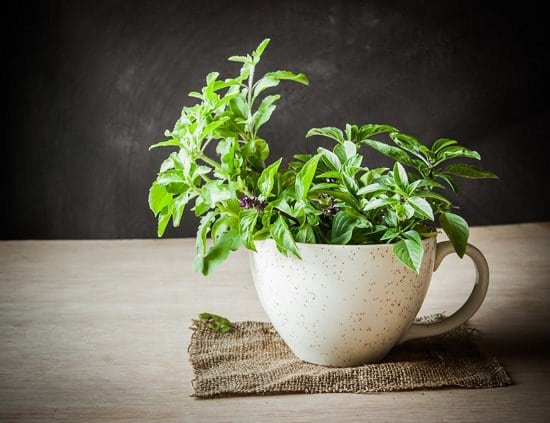 Benefits of Eating Basil Leaves On Empty Stomach4