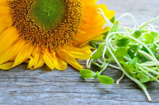Sunflower Sprouts Benefits1
