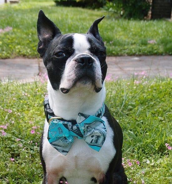 DIY Dog Bow Tie5