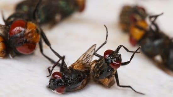 Essential Oils to Get Rid of Flies1