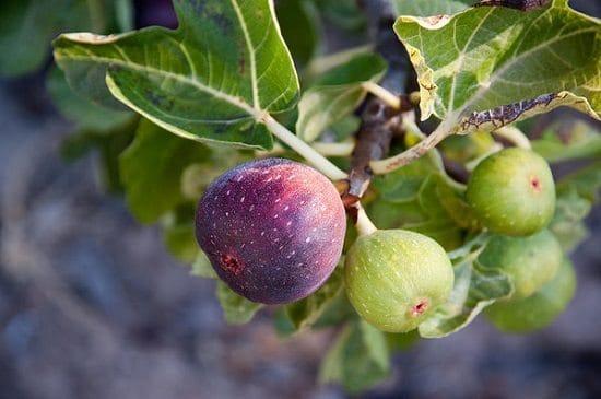 Fig Tree Leaves Tea Benefits1