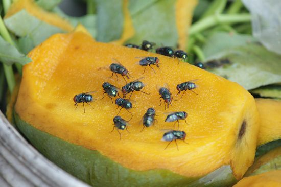 Essential Oils to Get Rid of Fruit Flies1