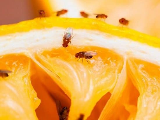 Essential Oils to Get Rid of Fruit Flies2