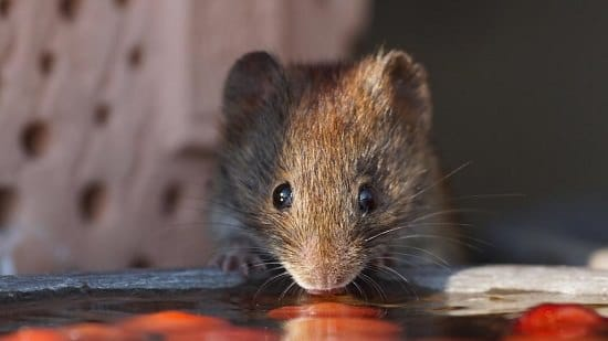 Does Irish Spring Soap Repel Mice2