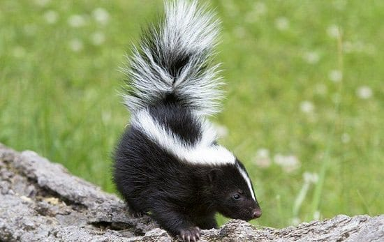 How to Get Rid of Skunks With Ammonia1