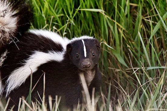 How to Get Rid of Skunks With Ammonia3