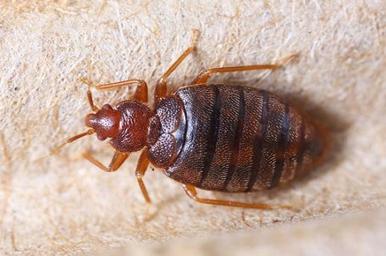 Does Pine Sol Kill Bed Bugs3