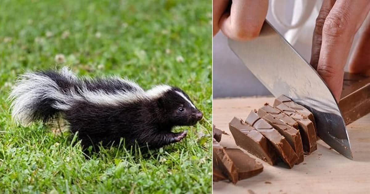How to Get Rid of Skunks With Chocolate ⋆ Bright Stuffs