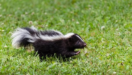 How to Get Rid of Skunks With Chocolate2